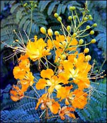 caesalpinia-yellow