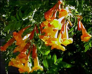 Plants for the arizona desert town of gilbert arizona yellow and orange bells provide a burst of summer color to desert xeriscape gardens spectacular clusters of bright yellow or orange bell shaped flowers mightylinksfo
