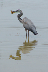 14-heron-with-fish