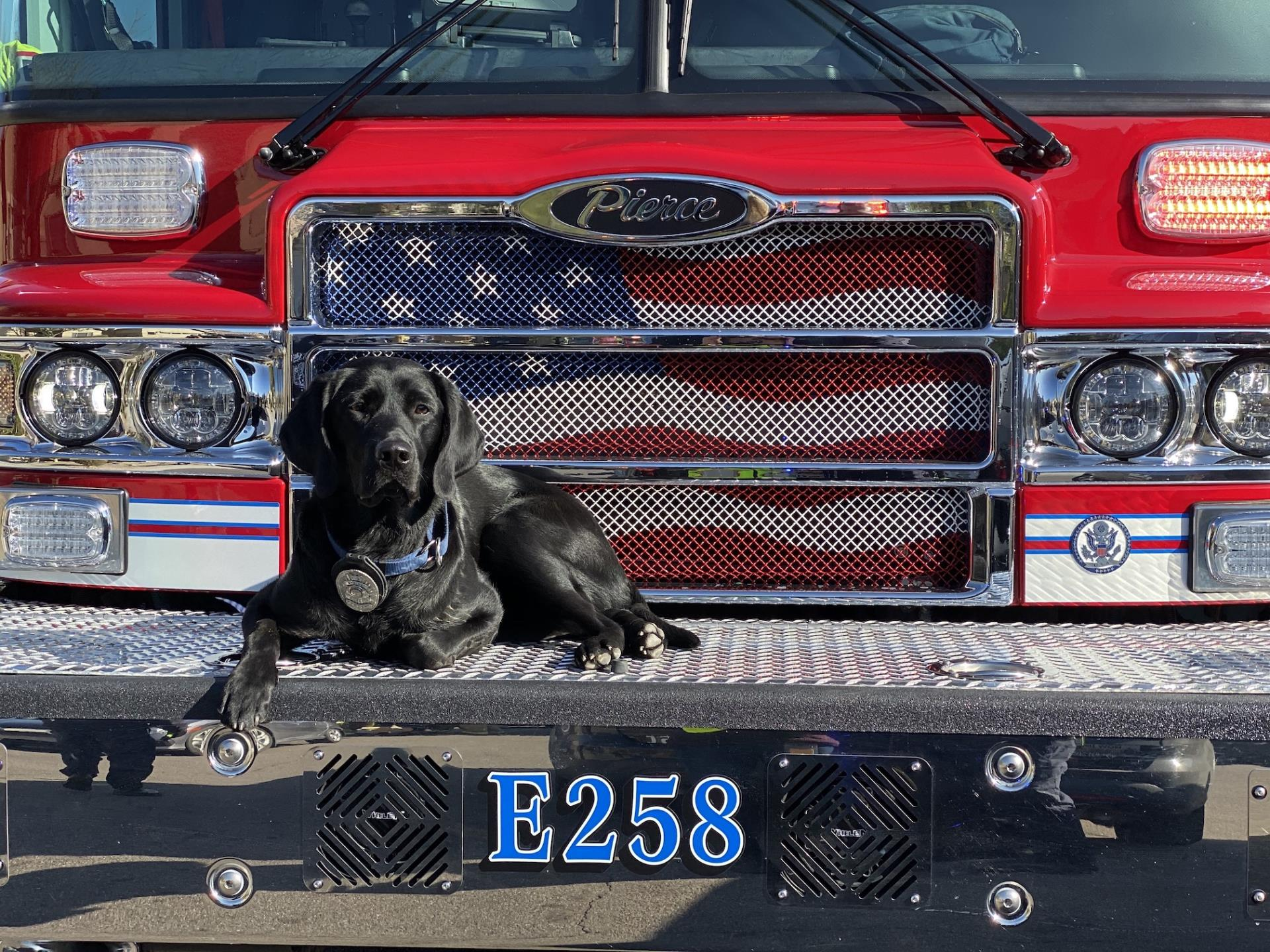 Black Labrador on Fire Engine