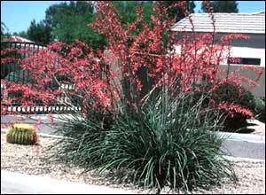 The strong vertical form of hesperaloe with its spectacular flower spilkes makes this clumping, evergreen perennial an ideal accent plant for landscapes.